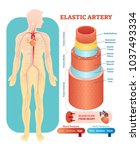 elastic artery anatomical... | Shutterstock .eps vector #1037493334