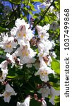 A Blooming Catalpa Tree With A...