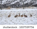 Stock photo group of hares in the spring snow 1037539756
