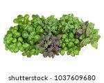 varieties of basil  border... | Shutterstock . vector #1037609680
