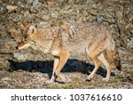 coyote walking near a road in... | Shutterstock . vector #1037616610