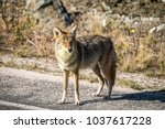 coyote walking near a road in... | Shutterstock . vector #1037617228
