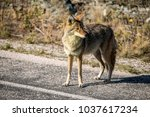 coyote walking near a road in... | Shutterstock . vector #1037617234