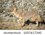 coyote walking near a road in... | Shutterstock . vector #1037617240