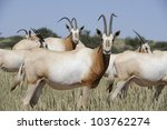 Scimitar Horned Oryx  Oryx...