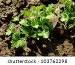 parsley seedlings after...   Shutterstock . vector #103762298