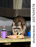 Small photo of A Raccoon (Procyon lotor) finds dinner on a picnic table at night in a Michigan backyard.
