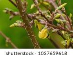 Forsythia  Yellow Flowers ...