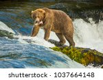 alaskan bear with catched fish... | Shutterstock . vector #1037664148