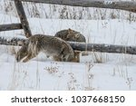 coyote walking in the snow | Shutterstock . vector #1037668150
