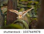 magic bird barn owl  tyto alba  ... | Shutterstock . vector #1037669878