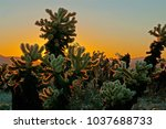 Cholla Plant At Sunrise At...