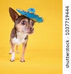 studio shot of a cute chihuahua ... | Shutterstock . vector #1037719444