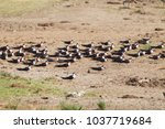 Small photo of resting flock of African Skimmer Rynchops flavirostris in Queen Elizabeth National Park, Uganda