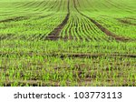Green Wheat Is Growing On A...