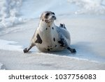 a harp seal with brown  beige... | Shutterstock . vector #1037756083