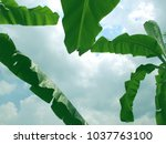 beautiful banana leaves on sky... | Shutterstock . vector #1037763100