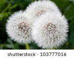 This Is A Picture Of Dandelion...