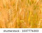 Barley In Field Conversion Test ...