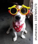 Stock photo jack russell wearing sunglasses 1037804173