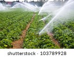 Water spray on an agricultural strawberry field - stock photo
