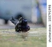 Starling bird takes a bath