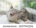 American Shorthair Cat Hugging...