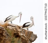 Small photo of Pelicans at Penguin Island, Rockingham, Western Australia