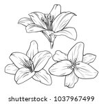 lily flower illustration in... | Shutterstock .eps vector #1037967499