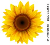 Sunflower Flower Isolated ...