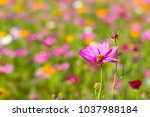 pink cosmos flower with bee and ... | Shutterstock . vector #1037988184