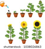 Sunflower Life Cycle. Growth...