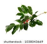 red coffee beans on a branch of ... | Shutterstock . vector #1038043669