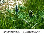 closed lupine flower | Shutterstock . vector #1038050644