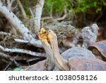 galapagos  giant  tortoise ... | Shutterstock . vector #1038058126