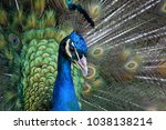 a male peacock displaying its... | Shutterstock . vector #1038138214
