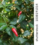 red bird's eye chilli or thai... | Shutterstock . vector #1038191014