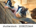 small piglet waiting feed in... | Shutterstock . vector #1038252664