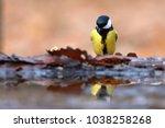 great tit  parus major  in... | Shutterstock . vector #1038258268
