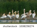white pelicans  pelecanus... | Shutterstock . vector #1038258274