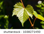tender and supple grape leaves. ... | Shutterstock . vector #1038271450
