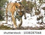 the siberian tiger  panthera... | Shutterstock . vector #1038287068