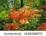 orange rhododendron flowers on... | Shutterstock . vector #1038288070