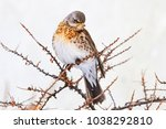 fieldfare sitting on a prickly... | Shutterstock . vector #1038292810