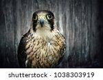 peregrine falcon  duck hawk... | Shutterstock . vector #1038303919