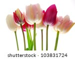 pink and red tulips | Shutterstock . vector #103831724