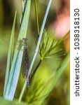 Small photo of Green-azure dragonfly Arrow Southern close-up. Damselfly Coenagrionidae insect. Selective focus.