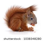 eurasian red squirrel isolated... | Shutterstock . vector #1038348280