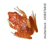 Small photo of Cinnamon frog, Nictixalus pictus, on white