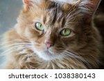 somali cat sunning in a window. | Shutterstock . vector #1038380143